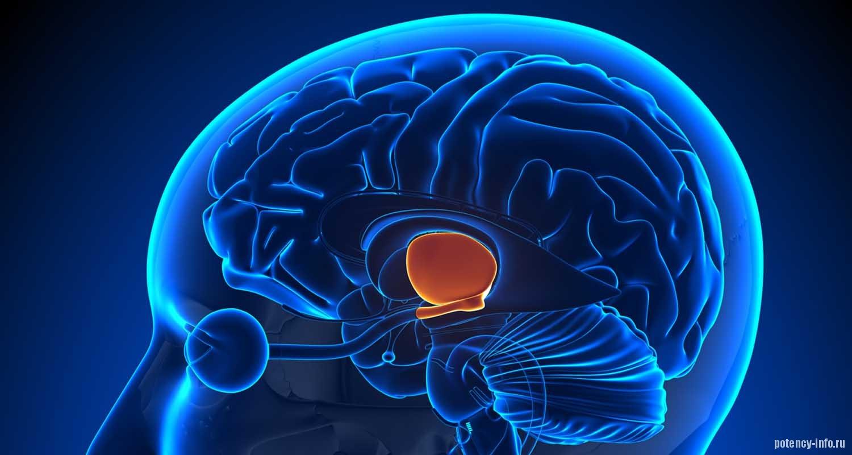 Гипоталамус – отдел головного мозга регулирующий эрекцию